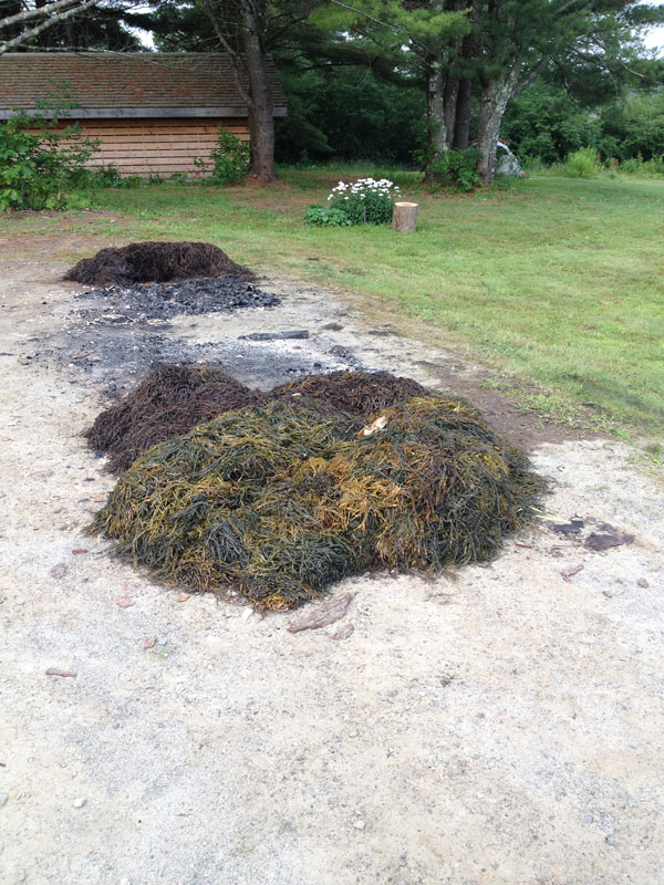 Wet, cooked seaweed is not the most delightful scent at 6 a.m. after a late-night campfire